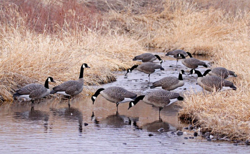 Dakota Decoy Signature Series Feeder Geese 6 Pack